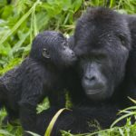 baby-gorilla-kissing-her-mother