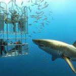 white-shark-diving